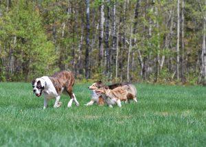 médaille chien longueuil Conseil  medaille chien veyrier