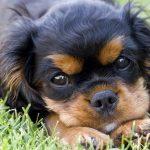 medaille pour chien truffaut Conseil  médaille pour chien ville de québec