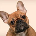 medaille pour chien spitz Conseil  médaille chien jack russel
