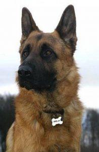 medaille et collier pour chien Bien choisir  medaille pour chien beauceron