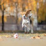 CEMP pour chiens: soulager la douleur, accélérer la guérison et réduire l'inflammation dans le confort de votre maison  – Médaille chien gravée