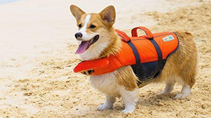 collier pour chien corgi
