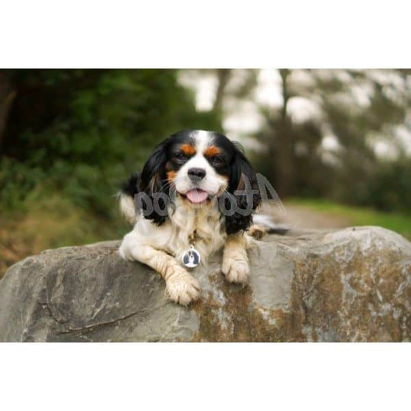 Médaille chien medaille pour chien cavalier king charles